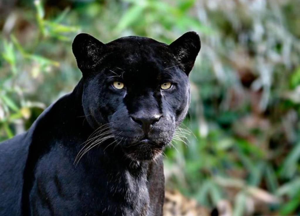 panthere et autres felins - photo#43