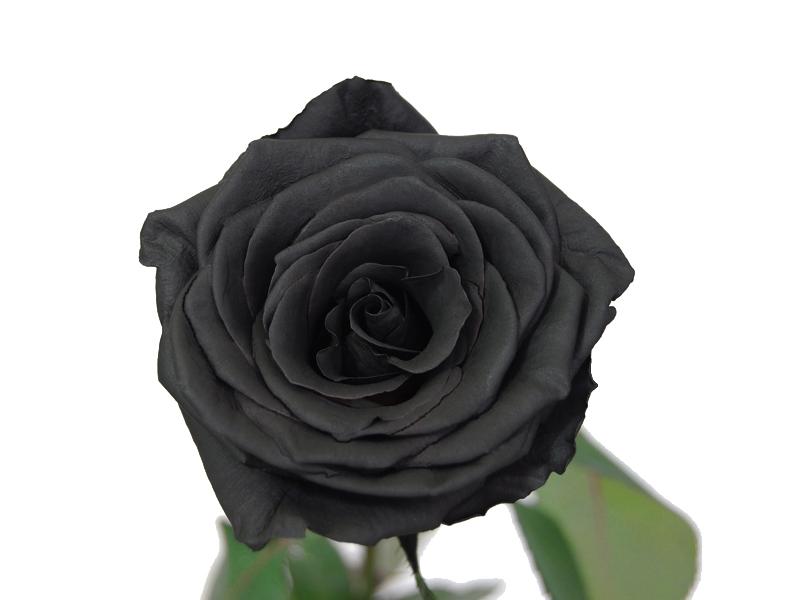 Le Rose Noire Fleur Noir Et Blanc Collegecalvet66