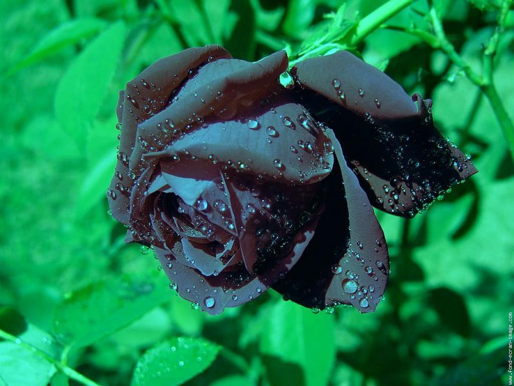 Rose Noire Naturelle Map Titecampagne